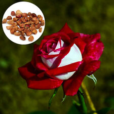 20PCS Rare Osiria Ruby Red White Rose Flower Seeds Home Garden Love Decor Hot