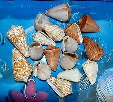 ONE (1) POUND OF ASSORTED CONE SEA SHELLS BEACH DECOR NAUTICAL CRAFT TROPICAL