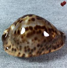 Cypraea Zoila jeaniana f. sherylae, Quobba Point, W. Australia, 65,4 mm, CUTE