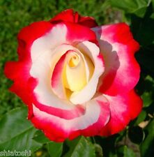 """Live """" Duble Delight """" Best scented rose plant -6 inch hight- actual pic, S-1100"""