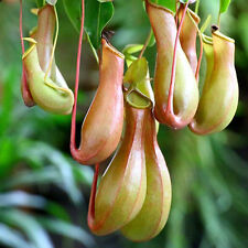 20Pcs Rare Seeds Pitcher Plant Purpurea Foliage Carnivorous Shades Flower Exotic
