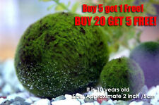 Giant Marimo Moss ball~2 inch- Live aquarium plant java fish tank FREE SHIP!