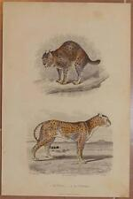 CROMOLITOGRAFIA LINCE GHEPARDO LYNX GHEPARD GUEPARD ANIMALI ZOOLOGIA 1880 RAMUS