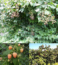 Brombeere und Himbeere im Mix, je 10 Samen Brombeere, Himbeere Rot und Gelb