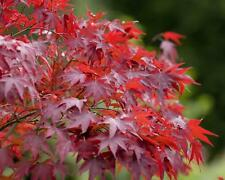 Bonsai Red Maple  (Acer rubrum) 30 seeds