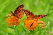 BUY USA 4 Monarchs 25 Orange Butterfly Weed Seeds Asclepias Tuberosa & Free Ship