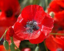 RED CORN POPPY FLOWER SEEDS - BULK - 15,000 SEEDS