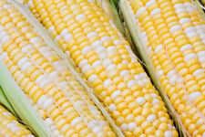Sweetcorn Seeds - AWESOME XR - Bi-color Hybrid - NON GMO Vegetable - 5 lbs Seeds