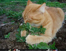 Catnip 250 Fresh Seeds Catmint Cat Mint Nepeta Cataria Perennial + Ship!