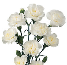 WHITE CARNATION_Caryophyllus Grenadin Flower Seeds (10 seeds) F-176