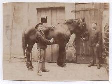PHOTO ANCIENNE Cheval Ferme Vers 1900 Profil Équitation Écurie Brosse