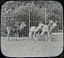 VICTORIAN Glass Magic Lantern Slide GROUP OF DEER C1890 PHOTO ZOO