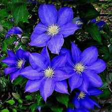 300Pcs Blue Clematis Flower Plant Seeds Garden Balcony Potted Seeds