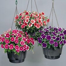 Flower seed - PETUNIA MULTIFLORA PICOTEE mix - Pack of 40 seeds
