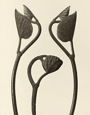 Masters of Photography: Karl Blossfeldt: Aristolochia stems - Digital Photograph
