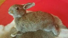 *Small Taxidermy Baby Bunny Rabbit-bug bunny/critter/varmint/adorable-cottontail