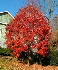 1,000 Red Maple Tree Seeds. Acer rubrum, Free Shipping, Maple Tree Seeds, 1,000