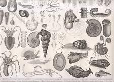 Tavola zoologica, 1850 xilografia  Conchiglie, fossili, lumaca, polipo...