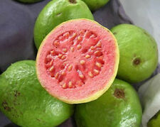 GUAVA tropical fruit Psidium guajava exotic tree seed edible guayaba 15 SEEDS