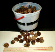 200 - LARCH TREE - Small REAL Natural PINE CONES for Decorating or Arts & Crafts