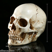New Human Anatomical Anatomy Head Skeleton Skull Teaching Model Precise