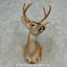 #16646 E+   Sitka Deer Taxidermy Shoulder Mount For Sale