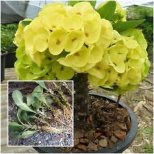 Euphorbia milii 1 Rooted Plant Crown of Thorns ''Wisetchaichan'' From Thailand