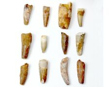 SUPER RARE 97 MILLION YEAR OLD SPINOSAURUS TOOTH T REX ERA DINOSAUR FOSSIL TEETH