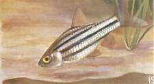 OLD CARD IMAGE : Puntius fasciatus Barbus de feu Melon barb POISSON FISH
