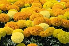 Flower Seed  - AFRICAN MARIGOLD - Double Mix Flower Seeds - Pack of 30 Seeds.