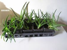 Two Large ALOE VERA 5-10 inch Two Year Old Plants. Medicinal Burn Aid Houseplant