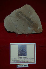 Fossil Plant Fern Neuropteris +Stand + ID Card 300 Million Year Old Lot#211