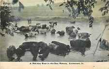 c1910 Cattle In The Des Moines River, Livermore, Iowa Postcard