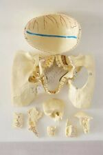 RS Human Skull Disarticulated Anatomical Model Professional nerve 10 parts