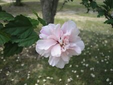 rose of sharon-fresh cutting-ready to plant- beautiful addition to your garden