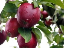 USA Grown Organic! Red Delicious Apple Tree Plant -5 Seeds- Grow Your Own!
