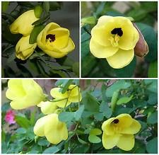10 Samen der Bauhinia tomentosa, Baum Orchidee,G