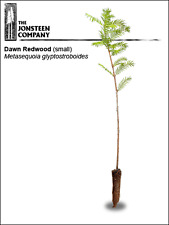 Dawn Redwood (small) by The Jonsteen Company
