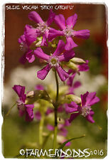 Silene viscaria 'Sticky Catchfly' [Syn. Lychnis viscosa] WILD FORM! 200+ SEEDS