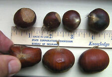 4 nuts rare American-Chinese Dunstan chestnut trees. Disease-resistant hardy