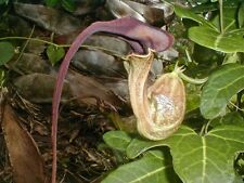 DUTCHMAN'S PIPE VINE (Aristolochia trilobata)  --- 20 Fresh Seeds ---