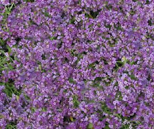100 Seeds Alyssum Cheers Lavender GROUND COVER