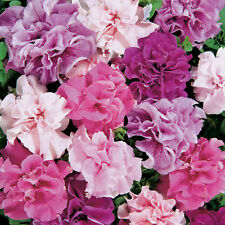 PETUNIA - HYBRID DOUBLE MIXED - 0.05GM APPROX 500 SEEDS