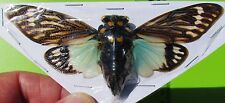 Giant Blue Winged Asian Cicada Tosena splendida FAST SHIP FROM USA