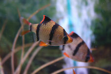 Live Beginner Freshwater Fish - 3X Tiger Barb - Hardy Colorful Schooling Species