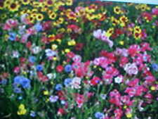 "ONE-POUND PERENNIAL 22-VARIEY WILD FLOWER SEEDS MIXTURE plus EXTRA 1/8 LB ""FREE"""
