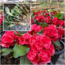 Euphorbia milii 1 Rooted Plant Crown of Thorns ''Ruaichangloei'' From Thailand