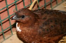 12 Pure Red Tennessee Bobwhite Quail Hatching Eggs*