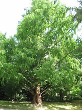 METASEQUOIA GLYPTOSTROBOIDES 25 semi seeds Abete d'acqua Dawn redwood