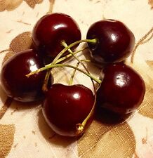 5 Sweet Dark Cherry Tree Seeds -Cold Stratified